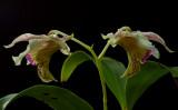 Dendrobium latouria,   flower 5 cm
