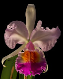 Cattleya mendelii, botanic, 15 cm