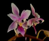 Phalaenopsis equestris, botanic 2.5 cm