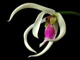 Leptotus bicolor, 2 cm diameter