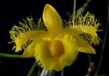 Dendrobium harveyanum, Ueang Kham Foi