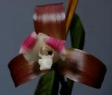 Lycaste macrophylla ssp. reichenbachiana, botanic , 8 cm
