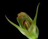 Pterostylis sp.
