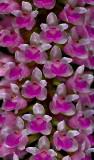 Arpophyllum spicata , flowers 5 mm