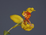Lockhartia oerstedii ,  1 cm    growing upside down