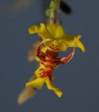 Lockhartia oerstedii,  1 cm
