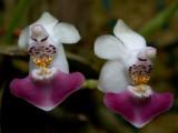 Phalaenopsis parishii , botanic  1 cm