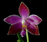 Phalaenopsis lueddemanniana 'pulchra'   botanic