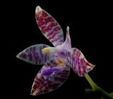 Phalaenopsis lueddemanniana, botanic