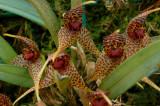 Dryadella edwaldii,  flowers 1 cm