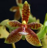 Phalaenopsis cornu-cervi, botanic  4 cm
