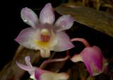Dendeobium lamellatum,  1.5 cm