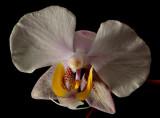 Phalaenopsis philippinense,  botanic  4 cm