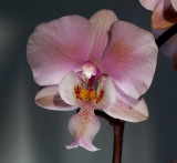 Phalaenopsis schilleriana , wild ancestor of most red and pink cultivated Phal. hybrids