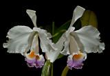 Cattleya trianaei semi-alba  ,  botanic ,  flower  12 cm