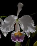 Cattleya trianaei semi-alba , close , botanic , very  rare