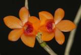 Dendrobium mohlianum, botanic , flowers 1.5 cm