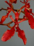 Renanthera species