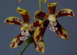 Phalaenopsis sp. 4 cm