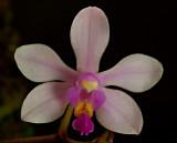 Phalaenopsis stoburtiana, 3.5 cm