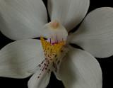 Caularthron bicornutum,  close