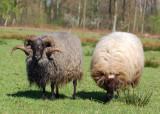 Drentsche heideschapen