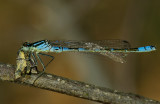 Maanjuffer man, jong, ogen worden nog groen, eet microvlindertje