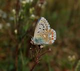 Adonisblauwtje man, onderzijde,  Polyommatus bellargus