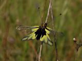 Owlfly -  vlinderhaft, Ascalaphus libelluloides