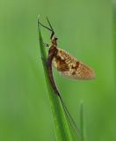 Eendagsvlieg - Tiszavirág