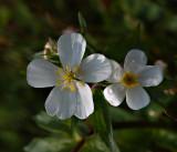 Witte boterbloem, Ranunculus aconitifolius, 5 bloemblaadjes