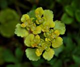 Goudveil,  Chrysosplenium alternifolium