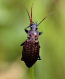 Kettingschalebijter, Carabus granulatus