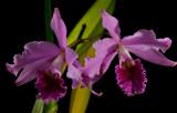 Cattleya lobata, botanic  flowers 12 cm