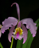 Cattleya mossiae, light phase, botanic