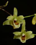 Dendrobium toasense, flowers 2 cm