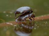 Grote spinnende watertor, Hydrous piceus , lengte 4 cm  (op drijvende tak)