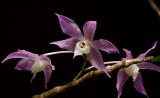 Dendrobium hercoglossum, Ueang Dok Ma Khuea , flowers 2,5 cm