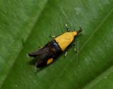 Micronachtvlindertje, Rectiostoma sp. lengte ongeveer 12 mm