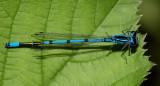 puellaformis