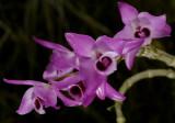 Dendrobium parishii, Ueang Khrang Sai San - Sai Nam Khrang