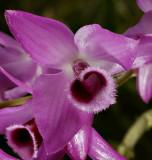 Dendrobium parishii, Ueang Khrang Sai San - Sai Nam Khrang, 4½ cm