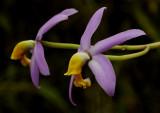 Hoffmannseggella longipes, 4 cm, botanic