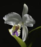 Cattleya lueddemanniana  'coerulea'    botanic, 18 cm