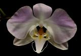 Phalaenopsis sanderiana, botanic 6 cm