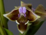 Polystachya Orchids
