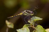Zwarte heidelibel jong, man half op kleur