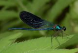 Ondersoort Calopterix splendens vorm caprai uit Italië , met nagenoeg donkere vleugeleinden