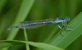 Blauwe breedscheen Estland, forser en meer zwart als nominaatvorm