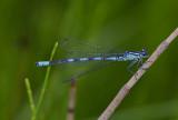 Speerwaterjuffer, zeer lichtblauw met zeegroene ogen, Coenagrion hastulatum